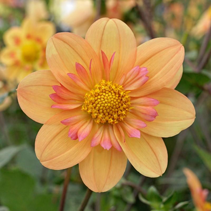 Für jeden Geschmack und Gartenstil bietet die Welt der Dahlien eine breite Palette an verschiedenen Sorten, wie die Halskraus-Dahlie 'Kelsey Annie Joy'.
