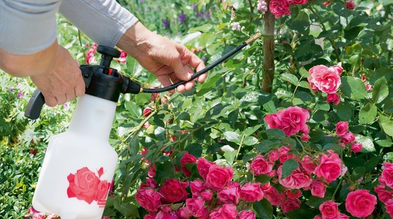Die richtige Rosenpflege